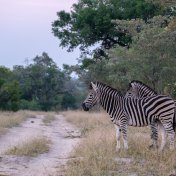 Zebras on the skid strip