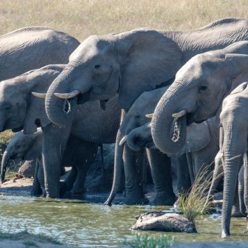 Elephants at the watering hole by the pool