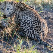 Anderson the nasty leopard