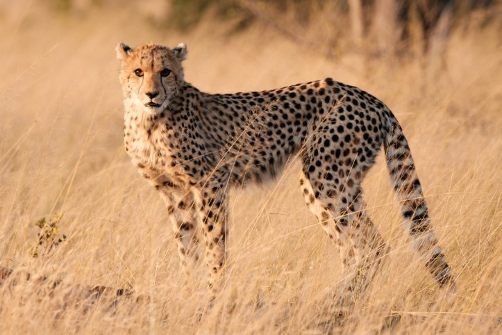 12b_cheetah_zach