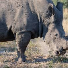 The better rhino