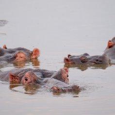Hippos at sundowner