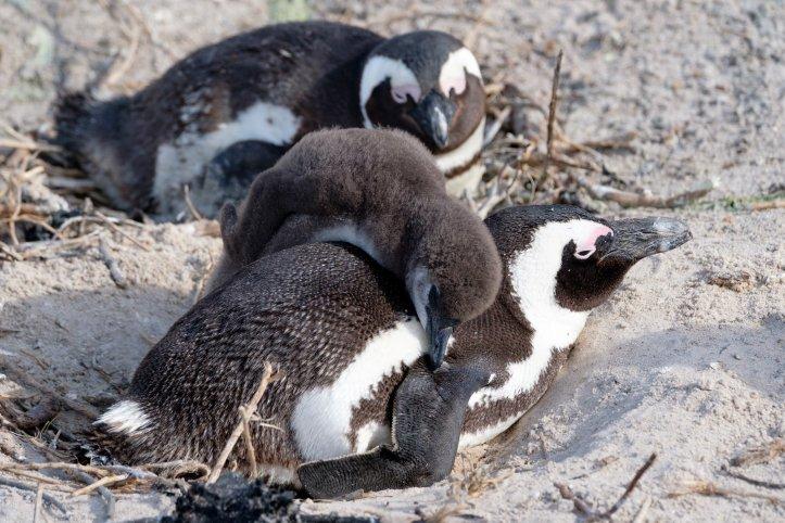 penguins_zach
